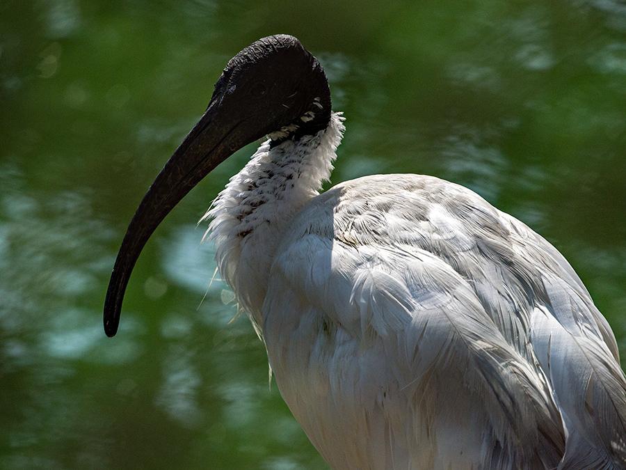 White Ibis, Bhubaneswar Zoo