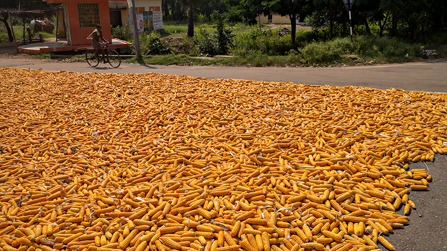 Corn drying by the highway